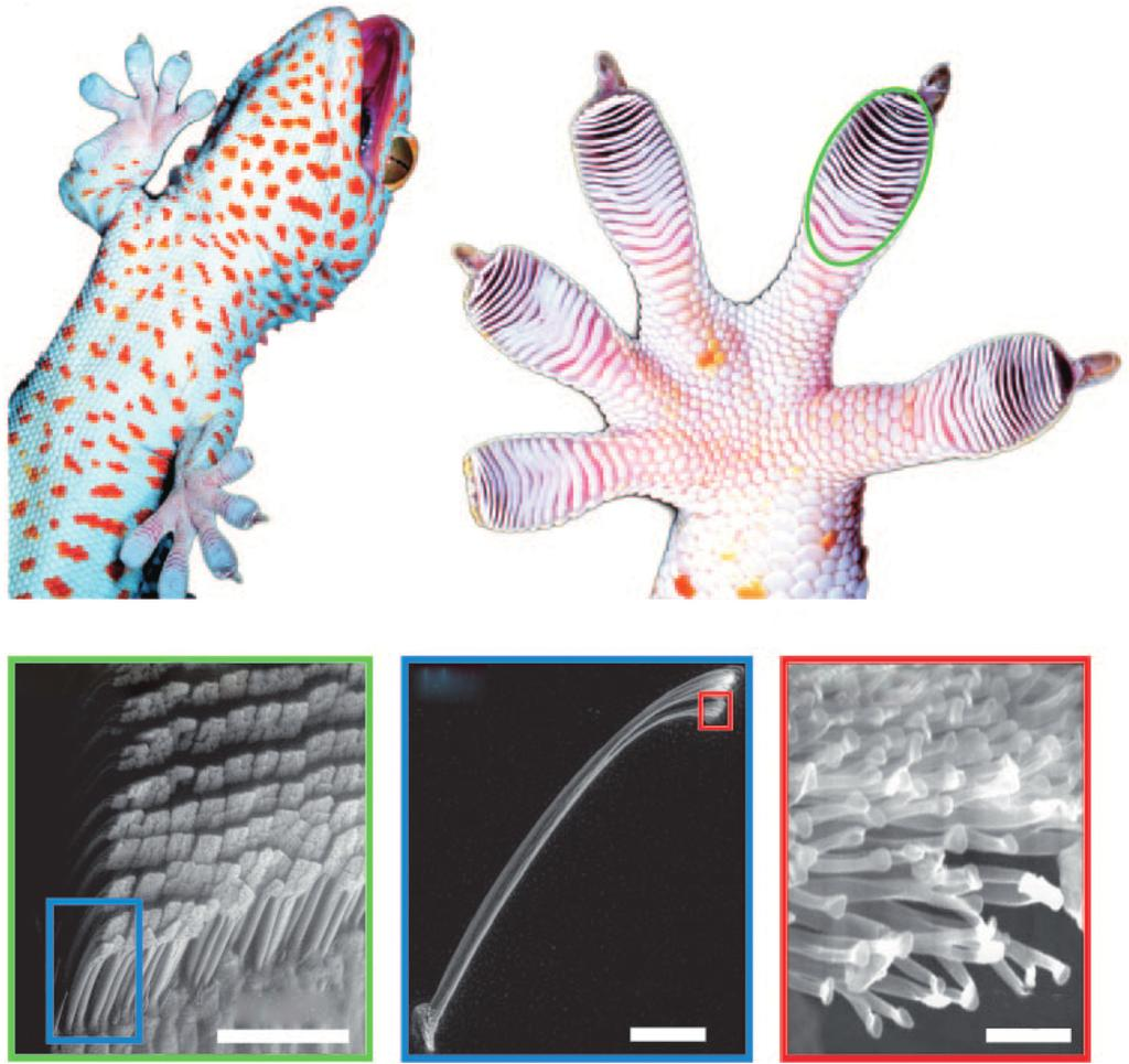 2 1 Gecko-Inspired Nanomaterials (a) (b) Adhesive Lamellae (c) (d) Arrays of Setae (e) Seta 75 μm Figure 1.1 Illustration of the hierarchical nature of the gecko adhesive system.