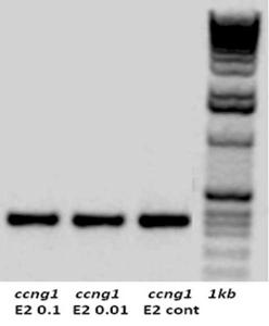01 and E2 control obtained pure quality RNA because A 260 /A 280 was greater than 2.