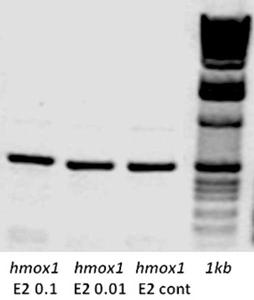 150 Rabbane and Rahman analysed with hmox1 gene (Figure 4). Significant down-regulation of hmox1 transcripts by RT-PCR at 8 and 48 hpf developmental stages when knocked down with MO2-esr2a.