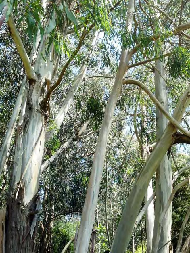 Eucalyptus Biology 700+ species Grown for pulp, mulch, windbreaks, and