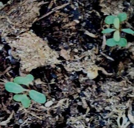 Study Summary No seedlings in surveys Low emergence of added seed Survival time low E.