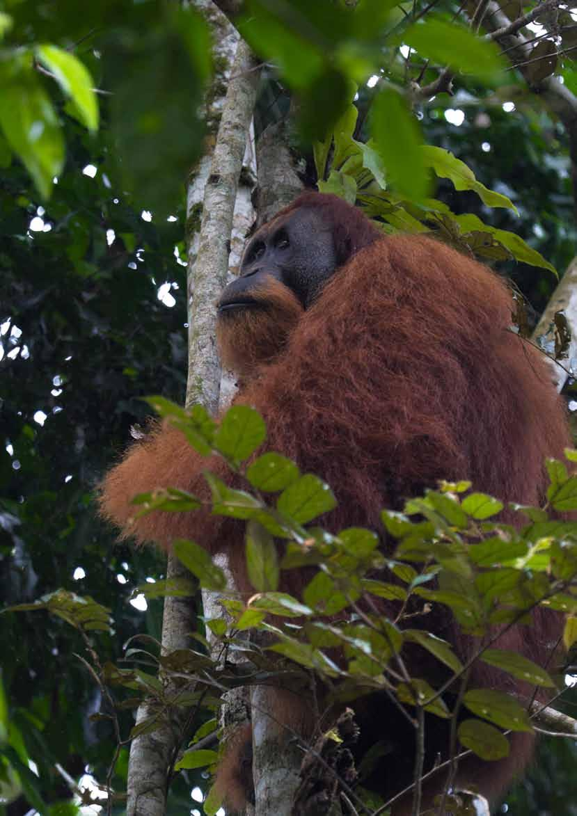 A fully flanged orangutan male looking