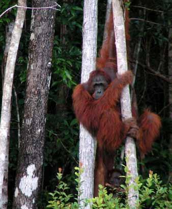2008-2010 (Mittermeier et al. 2009). With current trends in forest loss, the Sumatran orangutan may well be the first great ape to go extinct in the wild (Wich et al. 2008).