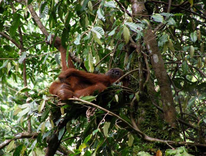 Both orangutan species are also listed on Appendix I of the Convention on International Trade in Endangered Species (CITES), prohibiting any international trade in wild-caught individuals.