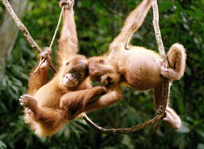 Challenges for the protection of orangutans and their habitat Vulnerability of orangutans Orangutans are extremely vulnerable to extinction due to a combination of factors: they have an exceptionally