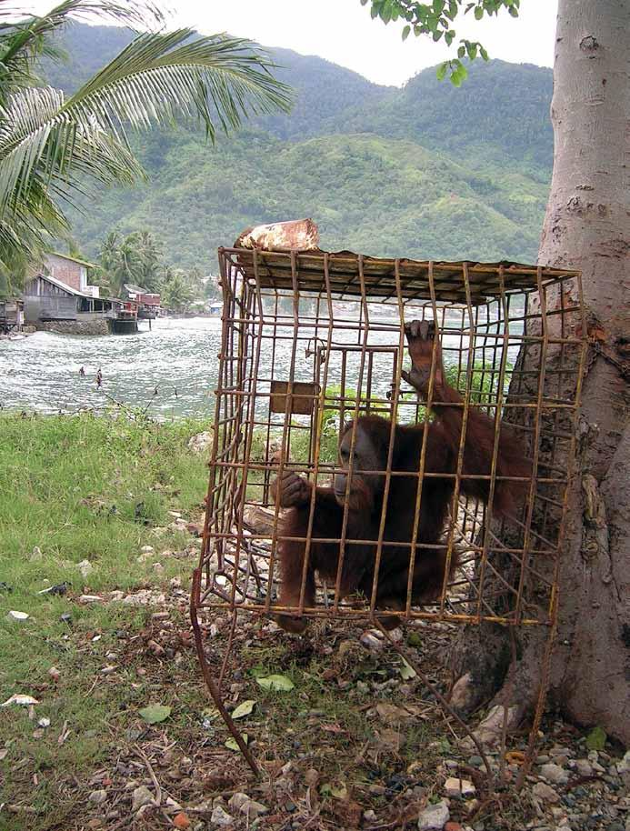 Hunting, capturing and pet trade of orangutans The hunting of highly prized species such as orangutans, elephants, tigers and rhinoceroses has been occurring on Sumatra for hundreds of years, and