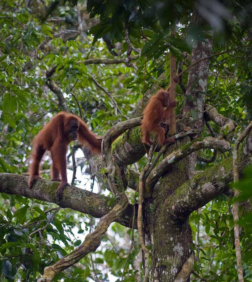 This report focuses on the habitat of the charismatic but critically endangered Sumatran orangutan.
