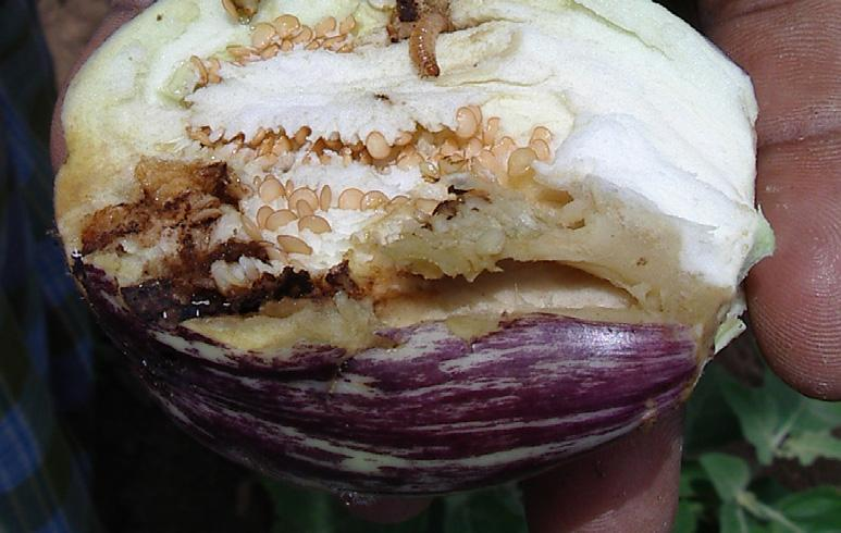 Damage from the FSB starts at the nursery stage and continues until harvest. An FSB larva that has bored into the shoot of an eggplant, thus causing the plant to whither.
