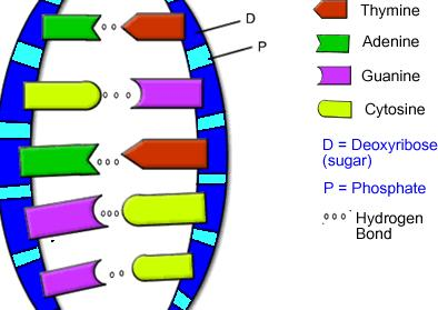 Nucleic Acids: DNA Deoxyribonucleic acid (DNA) is the blueprint of life; it is present in almost every cell in