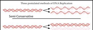 Semi-Conservative DNA Replication DNA replication must take place in order for a cell to divide during mitosis.