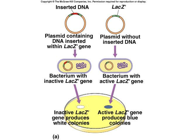 Need to screen Need to make sure bacteria have recombinant plasmid EcoRI BamHI restriction sites all in LacZ gene LacZ gene lactose blue color plasmid