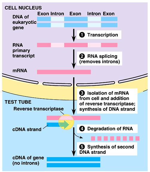 introns Solution Don t start with DNA Use mrna copy of the gene without the junk! But in the end, you need DNA to clone into plasmid How do you go from RNA DNA?