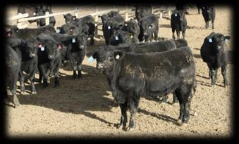 Used our highest $Profit, high feed conversion Angus bulls.