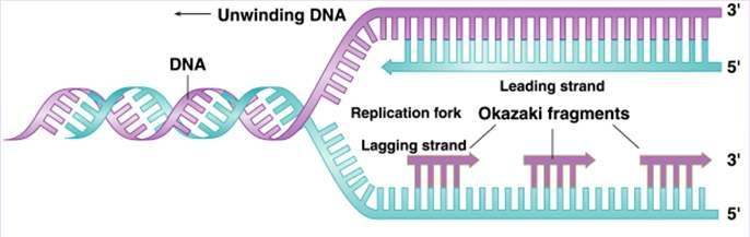 Direction of Replication The enzyme helicase unwinds several sections of parent DNA At each open DNA section, called a replication fork, DNA polymerase catalyzes the formation of 5-3 ester bonds of