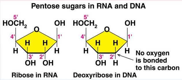 Pentose Sugars There are two related pentose sugars: - RNA contains ribose - DNA contains
