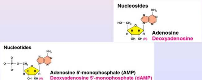 Nucleosides and Nucleotides A nucleoside consists of a nitrogen base linked by a glycosidic bond to C1 of a ribose or deoxyribose Nucleosides are named by changing the the nitrogen base ending to