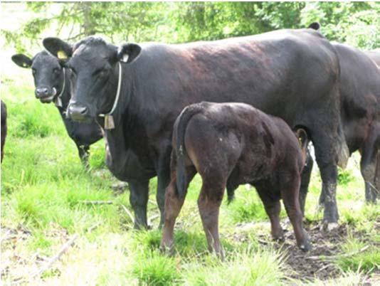The potential for increased production efficiency in beef production ( G and/or E-improvements) Effectivity measures: Weaned calves/cow year Kg carcass/cow year Measured as: