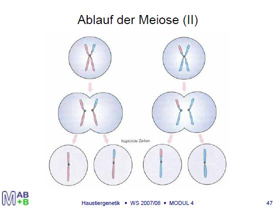 Meiosis (simplified) Recombination of chromosome fragments during Meiosis (I) Random allocation of the chromosomes, that were inherited from sire and dam, to the gametes