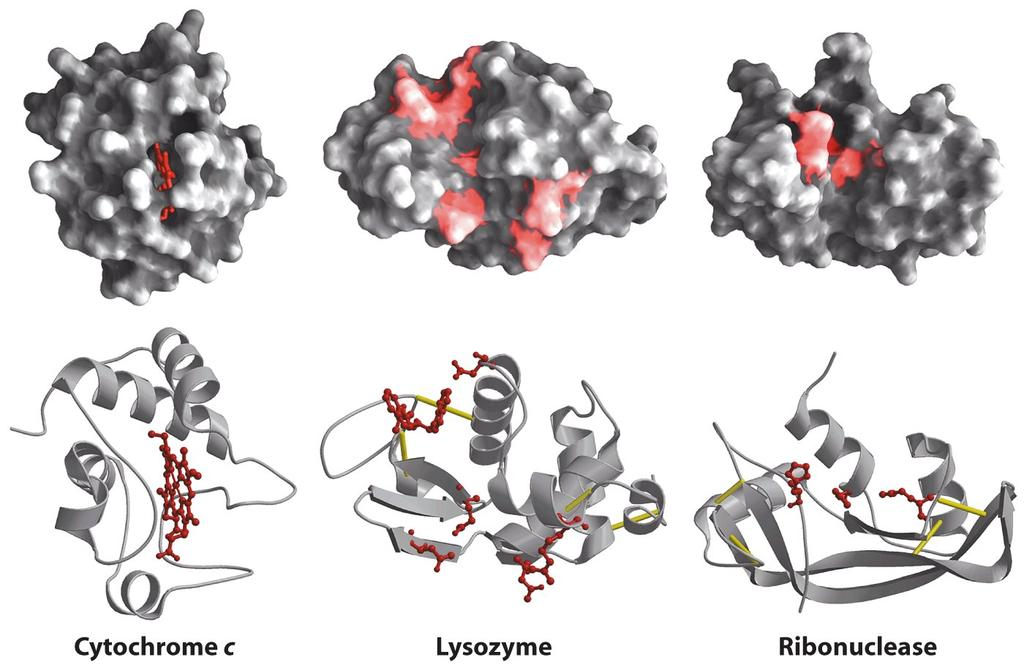Proteins From Lehninger,