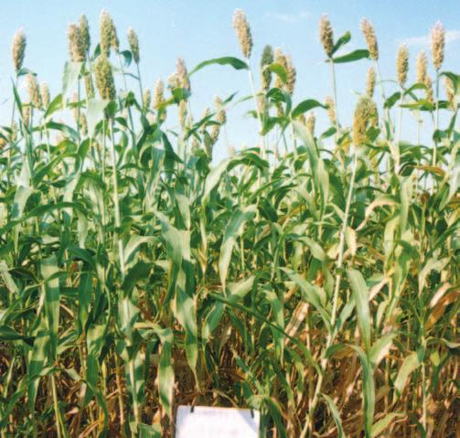 91 65 128 72 85 SU658 72 96 69 116 86 88 SPV1388 72 79-117 89 83 Local sorghum 55 54 60 128 95 78 (Farmer s choice) Farmer s CSV15 73 71 111 105 73 87 Practice SPV1022 53 51 89 104 73 74 GJ39 53 62