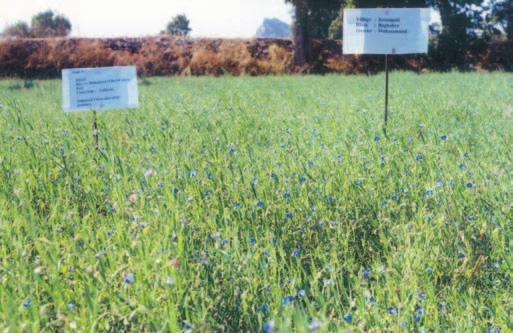 ANNUAL REPORT Performance of lathyrus as an utera crop under farmers practice (left) and improved practice (right) in Mahasamund district, Chhattisgarh crop in Khurda (Orissa).