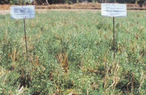 Crop Diversification in Uplands In order to augment the income from uplands, efforts were made to introduce alternate crops in place or along with kharif rice in intercropping systems.