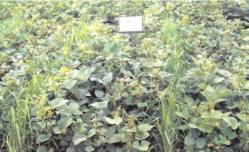 ANNUAL REPORT Control of Yellow Mosaic Virus Yellow mosaic virus takes heavy toll in short duration pulses like mungbean and urdbean.
