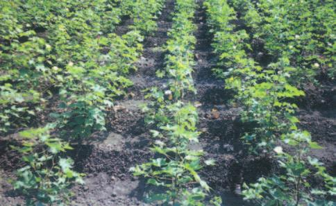 RAINFED AGRO-ECOSYSTEM nutrient management combined with ridge and furrow method of cultivation provides the much needed stability to cotton productivity, particularly in low rainfall shallow soil