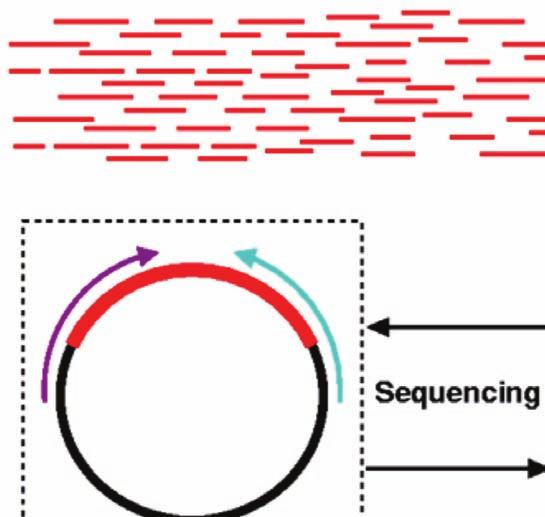 Shotgun sequencing In this strategy, the DNA is first shredded