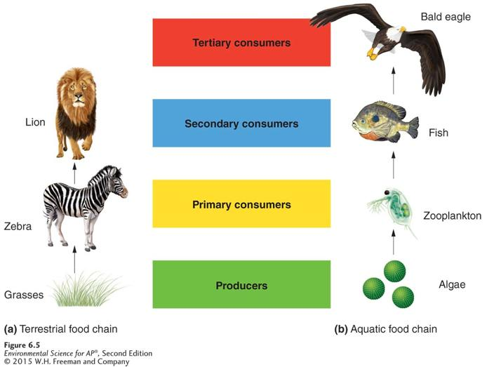 Trophic Levels Simple food chains.