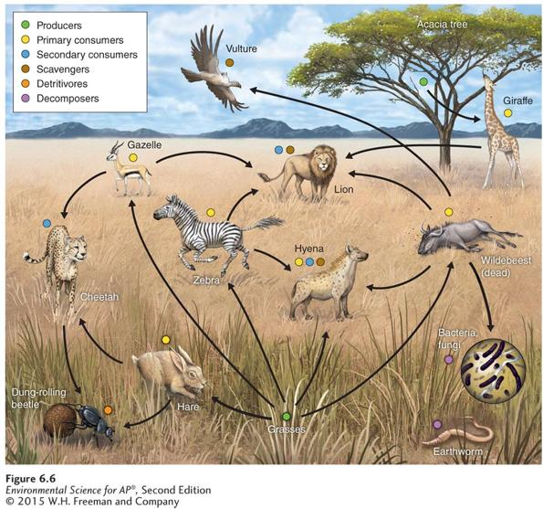 Trophic Levels A simplified food web. Food webs are more realistic representations of trophic relationships than simple food chains.