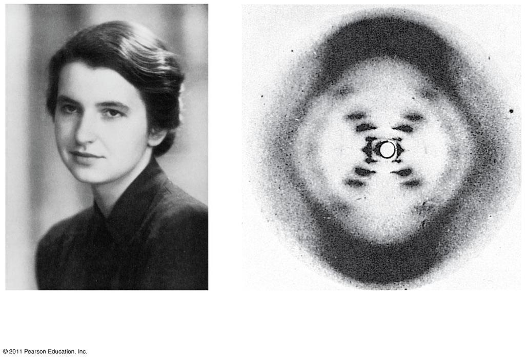 Rosalind Franklin (1952) Used an X-ray technique to photograph DNA Saw that DNA had: 2 spiraling components