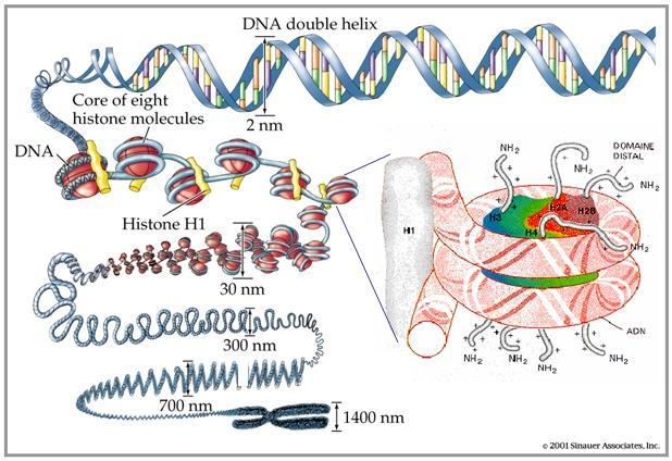 Chromosome DNA molecule is wrapped around proteins called histones.
