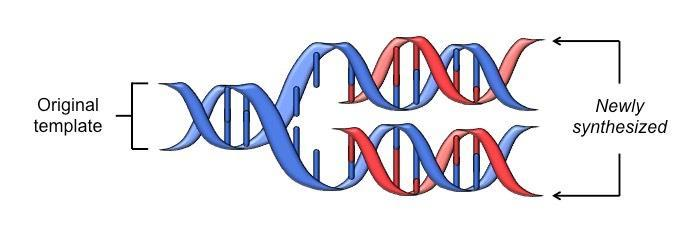 DNA Replication is Semiconservative Half of each new DNA strand is the