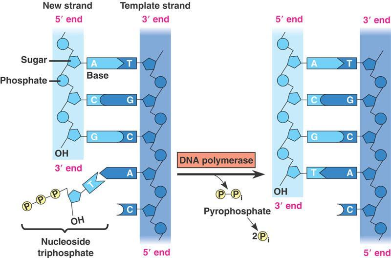 5 to 3 direction of DNA Because of the way DNA is built (in the 3 direction) a strand of DNA has two ends: