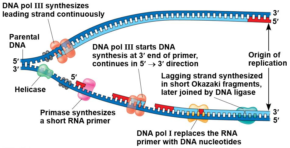 Leading and Lagging strands Since DNA can only be built in the 3 direction, half of it will be built