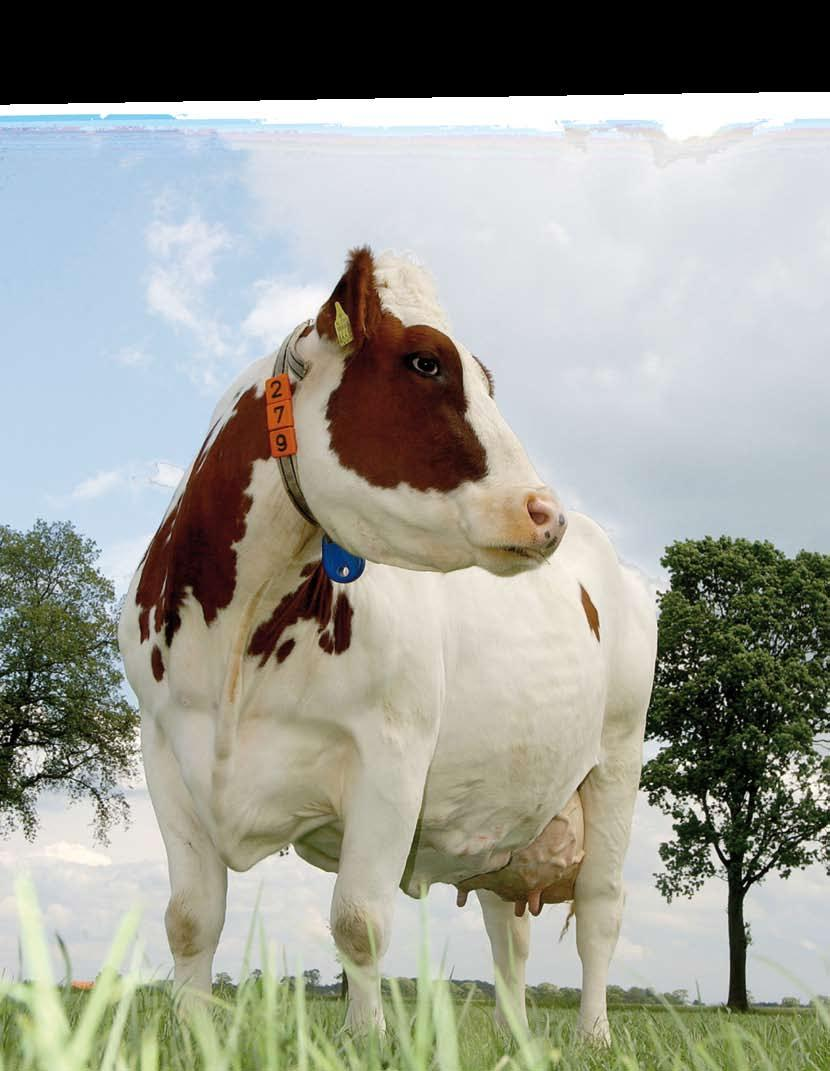 Conclusions and recommendations The MRY-cow has many qualities. The strong characteristics of the MRY are the high protein yield, good fertility, strong muscularity and her durability.