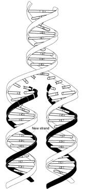 19. Look at the following molecule of DNA. Transcribe DNA into mrna strand and translate it into a protein. Also include the processes that are taking place at each of these steps.