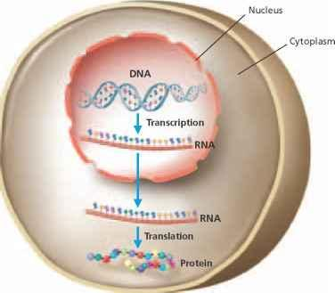 b. RNA STRUCTURE AND FUNCTION Like DNA, RNA is a nucleic acid made of nucleotides However as shown below RNA differs from DNA in four basic ways a.