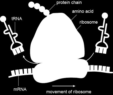 3. trna a. transfer RNA i. transfers amino acids to the ribosome to make a protein c.
