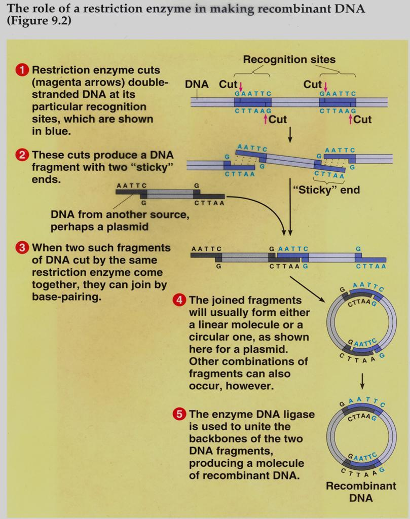 Restriction Enzymes (BamHI,