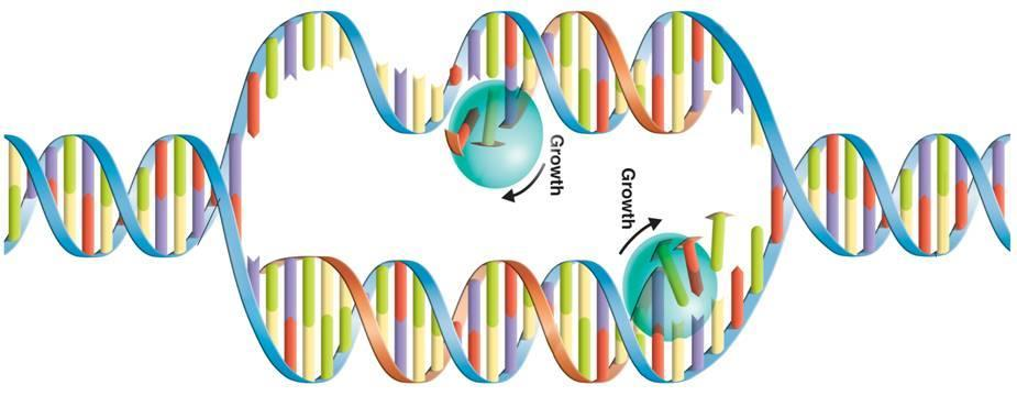DNA Replication New Strand Original strand Nitrogen Bases Growth Growth