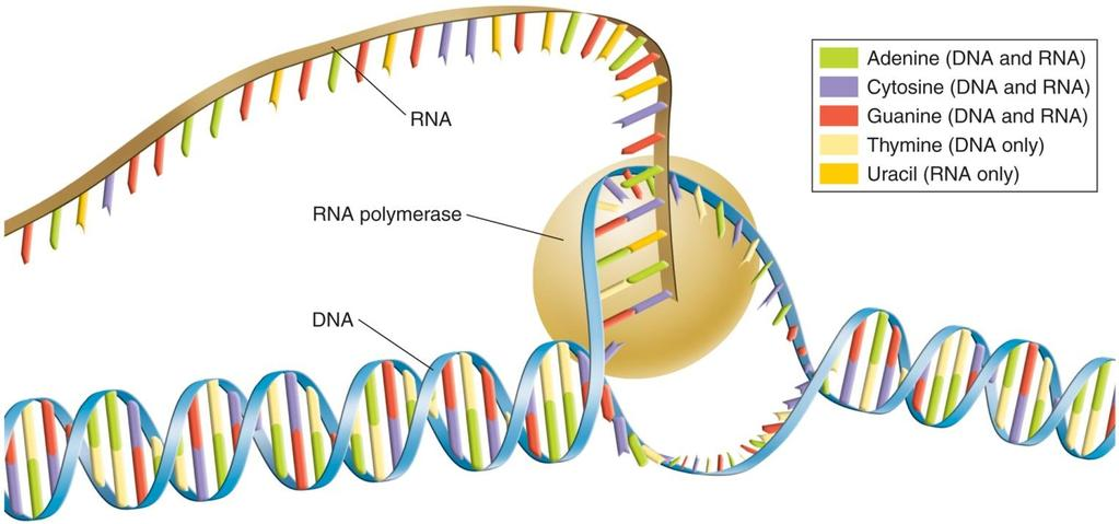 Transcription Transcription- RNA molecules are produced by copying part of the nucleotide sequence of DNA into a complementary sequence