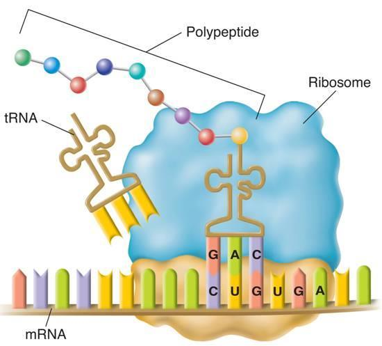 Translation The rrna joins the newly synthesized amino acids and breaks the bond between the amino acid and its trna.