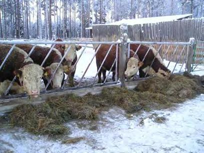 Housing All facilities offered adequate shelter for the cows and calves. The feeding strategies introduced to the cows are well suited to conditions similar to those in the present study.