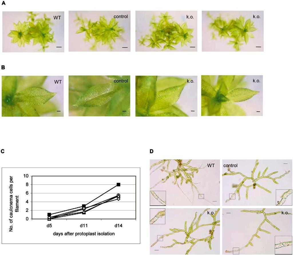 232 Figure 3. Regeneration under standard growth conditions. Wild-type Physcomitrella (WT), a transgenic plant generated by illegitimate recombination (control), and two independent cycd knockouts (k.