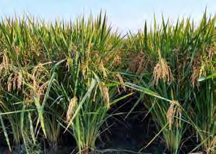 RICE rice hundredweight 13,929,000 hundredweight 259 farms $139 million value of production in 2016 $15 MILLION above 2015 value