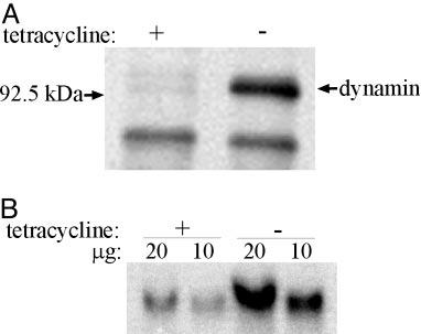 Fig. 5. Expression of dynamin is increased in the CHC antisense RNA cells. (A) Increased rate of dynamin synthesis. The cells were grown with or without tet for 2 days.