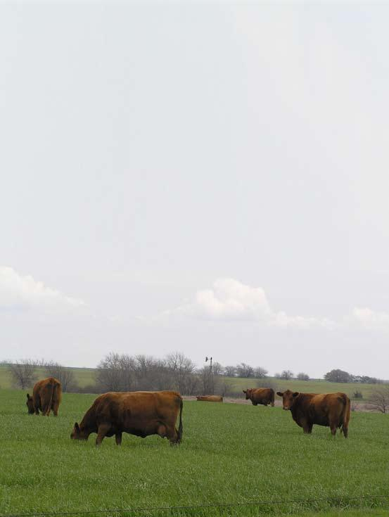 Janssen Red Angus Jack & Travis 1825 Ave.