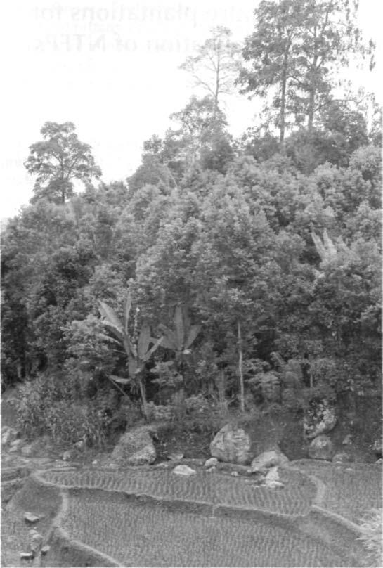 Vauable tree species in agroforestry systems 159 Plate 16. A complex agroforest based on rubber and cinnamon in Sumatra in close proximity to paddy rice, (photo: R.R.B. Leakey) Plate 17.